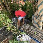 CÂY XANH GIA NGUYỄN CUNG CẤP 150 CÂY TRE MẠNH TÔNG CHO ANH HẠNH Ở TPHCM