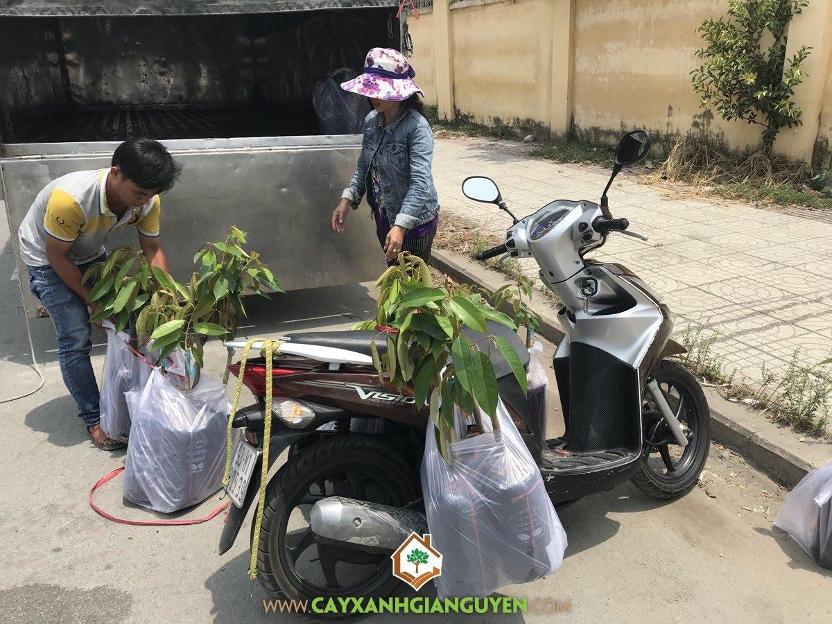 Cây Sầu Riêng Thái Monthong, Vườn ươm Cây Xanh Gia Nguyễn, Vườn Sầu Riêng Thái, Giống Sầu Riêng, Trồng Sầu Riêng Thái