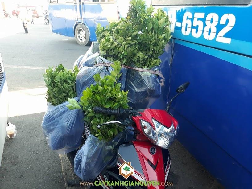 Cây Tắc, Vườn ươm Cây Xanh Gia Nguyễn, Vườn Cây Tắc Cảnh, Trồng và chăm sóc Cây Tắc, Cây Tắc Bonsai