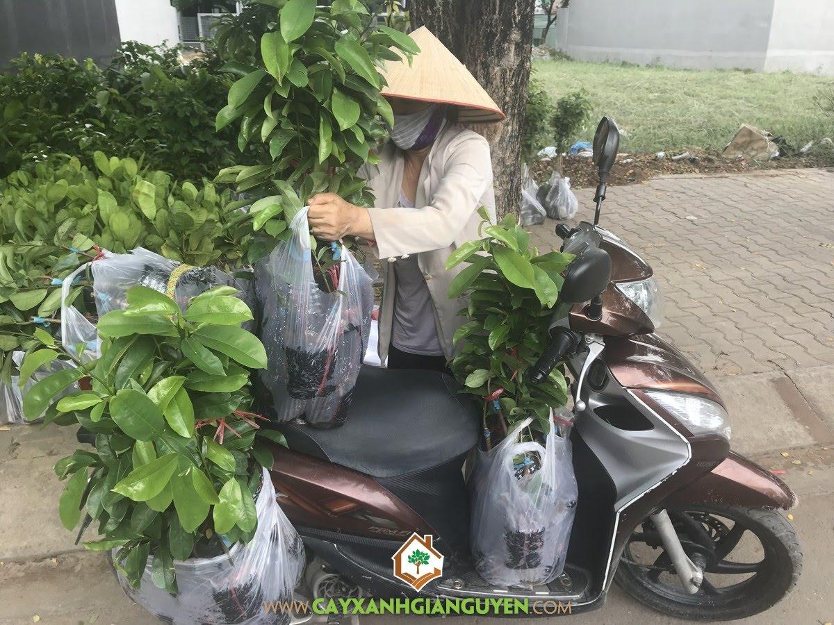 Mãng Cầu Xiêm Thái, Cây Dừa, Cây Giống Mãng Cầu Xiêm Thái, Vườn ươm Cây Xanh Gia Nguyễn, Giống Cây Ăn Trái