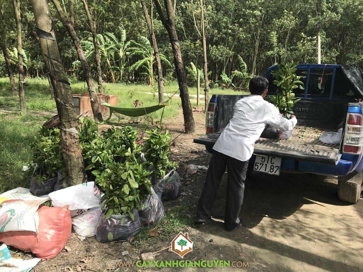 Cây Chanh Không Hạt, Giống Chanh Không Hạt, Vườn ươm Cây Xanh Gia Nguyễn, Vườn Chanh Không Hạt, Chăm sóc Cây Chanh Không Hạt