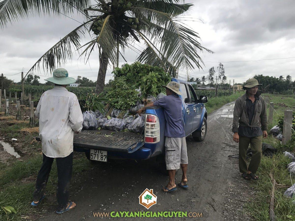 Cây Giống Lâm Nghiệp, Vườn ươm Cây Xanh Gia Nguyễn, Cây Sưa Đỏ, Cây Dầu Rái, Cây Sao Đen
