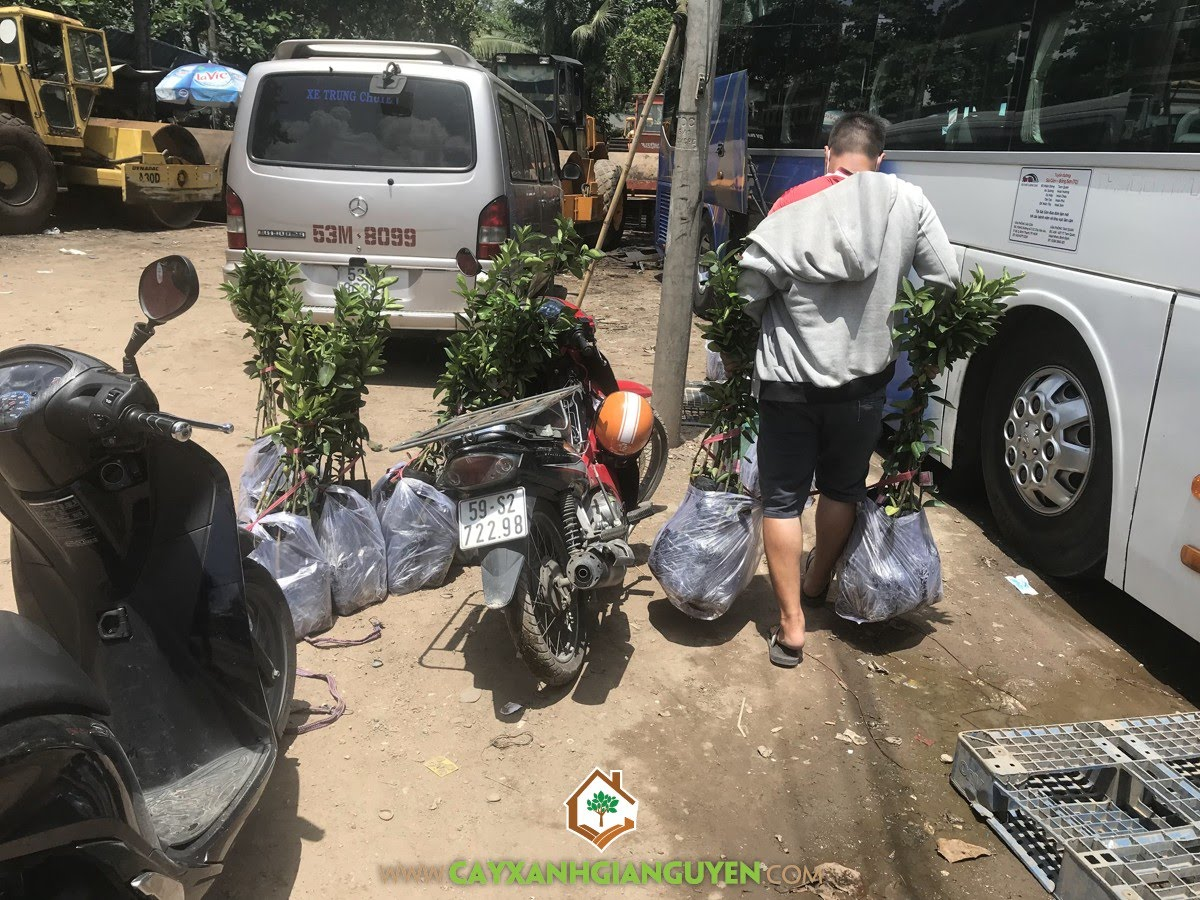 Cây Cam Sành, Cam Sành, Cây Ăn Trái, Dừa Xiêm, Chôm Chôm Thái, Bưởi Da Xanh