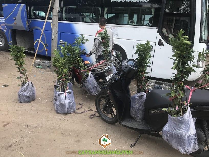 Cây cam sành, Cam sành, Cây ăn trái, Dừa xiêm, Chôm chôm, Bưởi da xanh