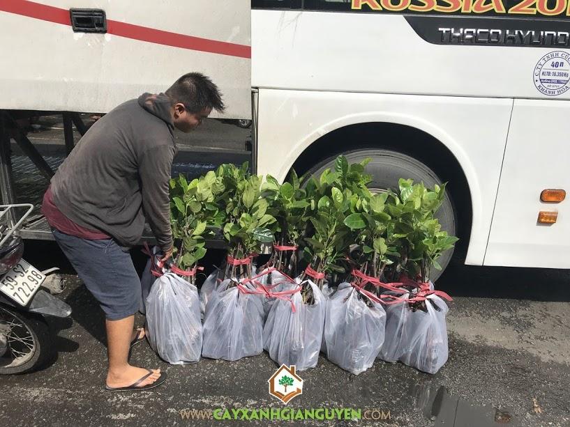Mít Thái Siêu Sớm, Chăm sóc Cây Mít Thái Siêu Sớm, Quả Mít Thái Siêu Sớm, Vườn ươm Cây Xanh Gia Nguyễn, Mô hình trồng Mít Thái Siêu Sớm