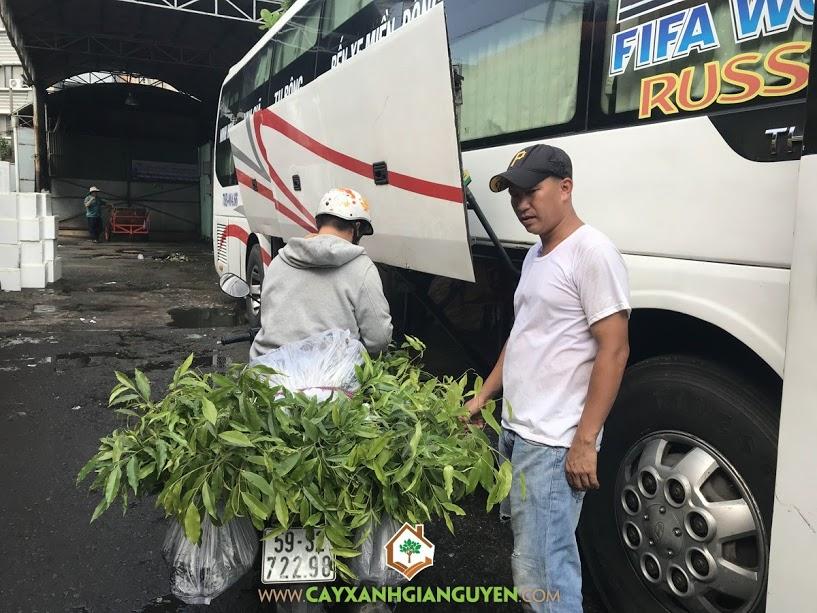 Cây Dó Bầu, Vườn ươm Cây Xanh Gia Nguyễn, Cây giống, Dó Bầu, Cây Giống Lâm Nghiệp