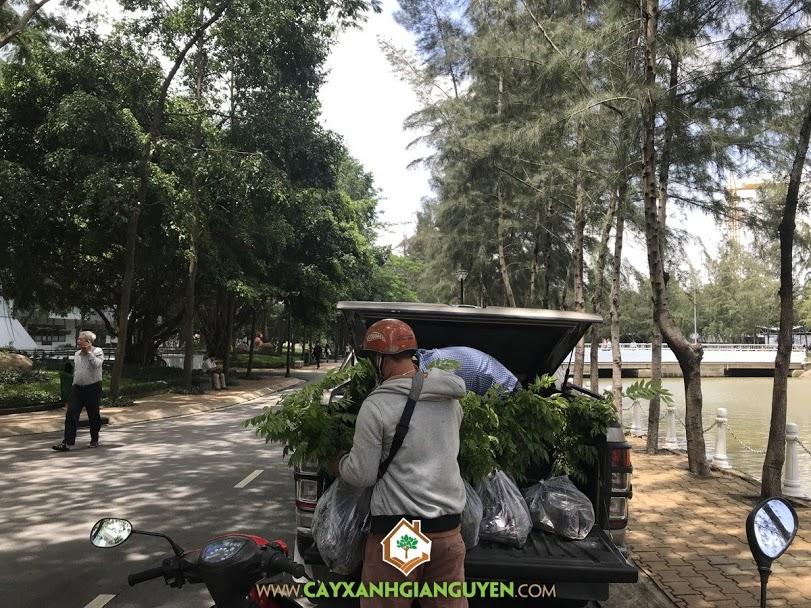 Cây Sưa Đỏ, Cây Sưa Đỏ Giống, Vườn ươm Cây Xanh Gia Nguyễn, Cây Giống Online, Cây Giống