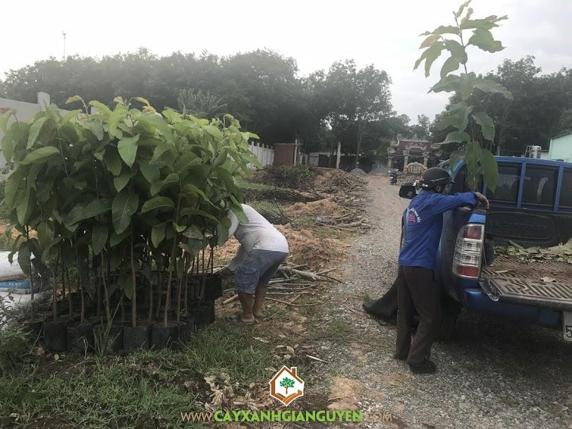 Cây Dầu Rái, Vườn ươm Cây Xanh Gia Nguyễn, Kỹ thuật trồng và chăm sóc Cây Dầu Rái, Cây Gỗ Dầu Rái, Cây Dầu Rái Giống