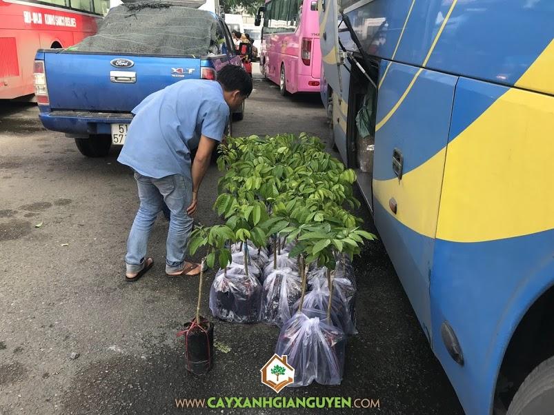 Cây Bòn Bon Thái, Vườn ươm Cây Xanh Gia Nguyễn, Chăm sóc Cây Bòn Bon Thái, Giống Bòn Bon Thái, Vườn Bòn Bon Thái