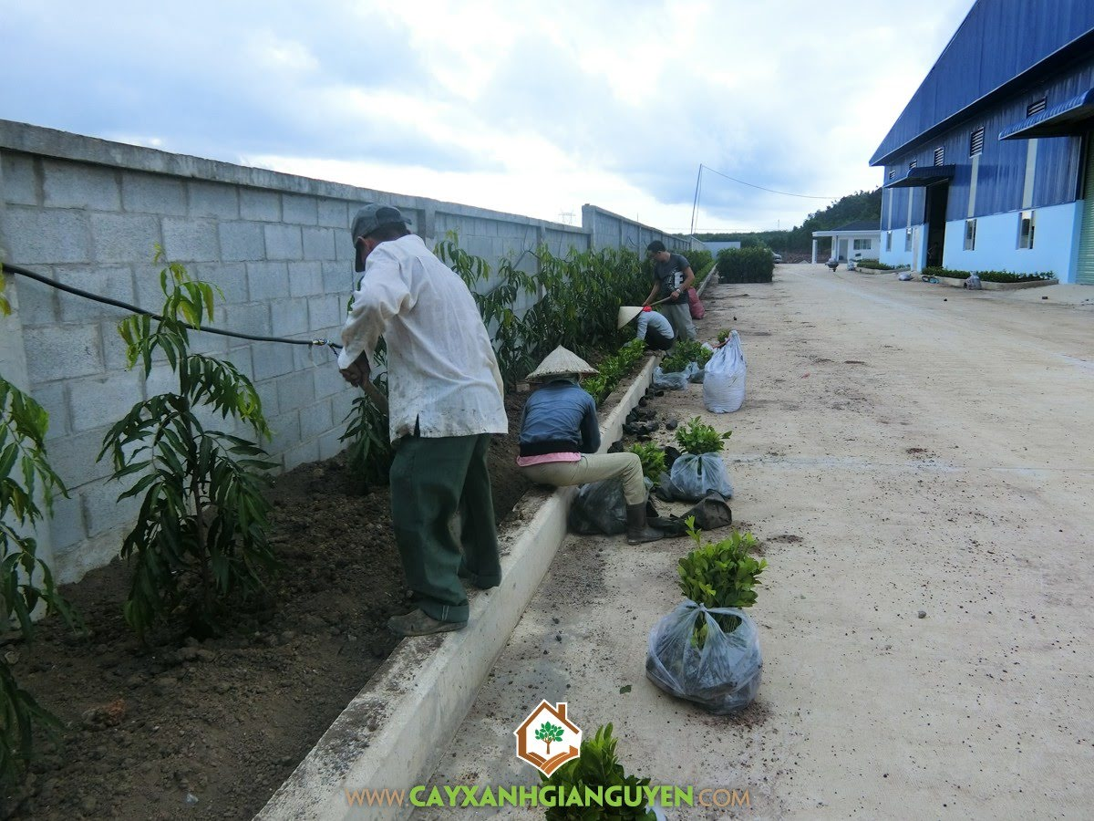 Cây Xanh Gia Nguyễn, Cây Hoàng Nam, Cây Xoài Giống, Cây Ắc Ó, Giống Cây Trồng