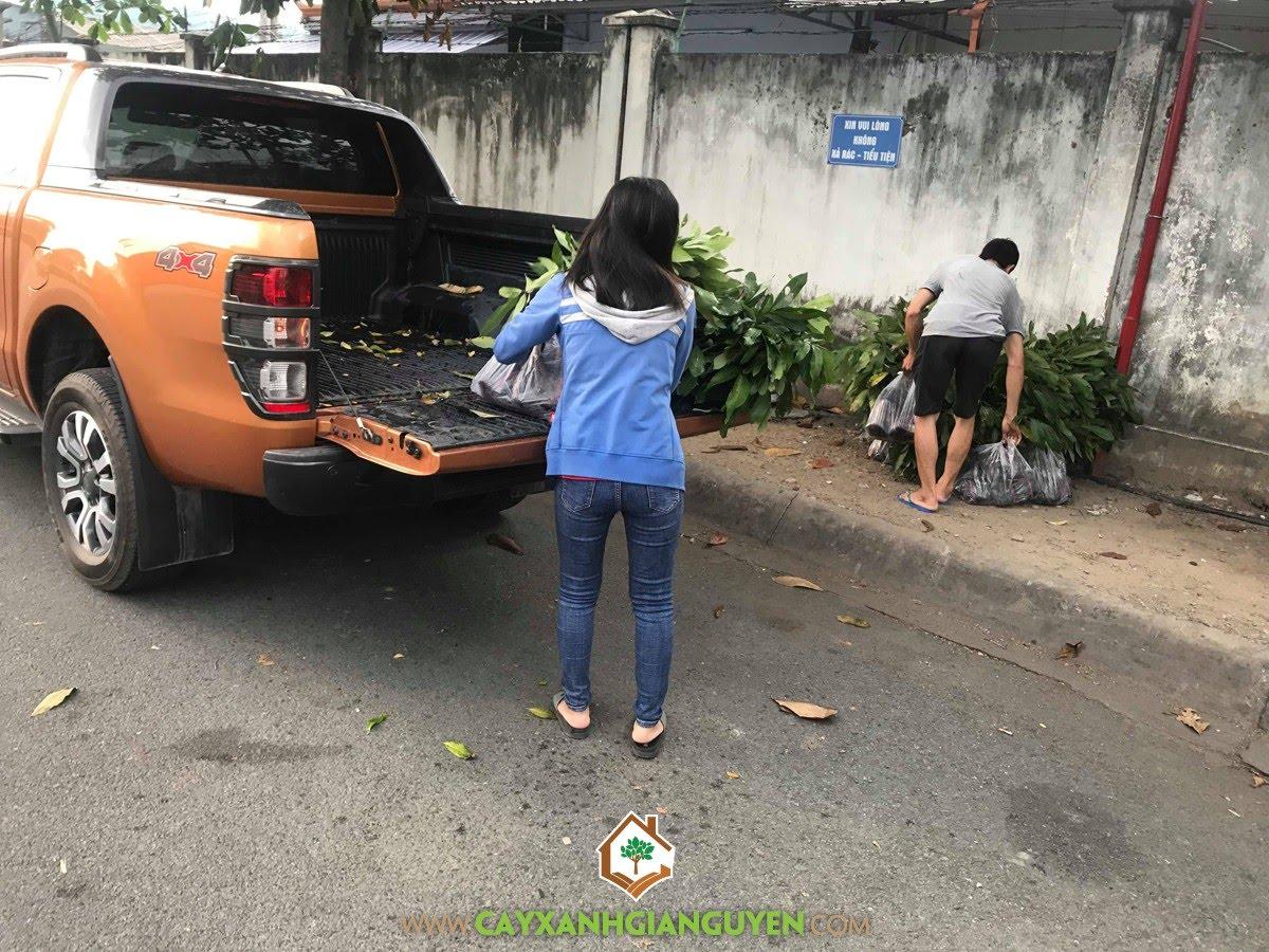 Nhãn Ido, Trồng Nhãn Ido Thái Lan, Mô hình trồng Nhãn Ido Thái Lan, Vườn Nhãn Ido, Vườn ươm Cây Xanh Gia Nguyễn