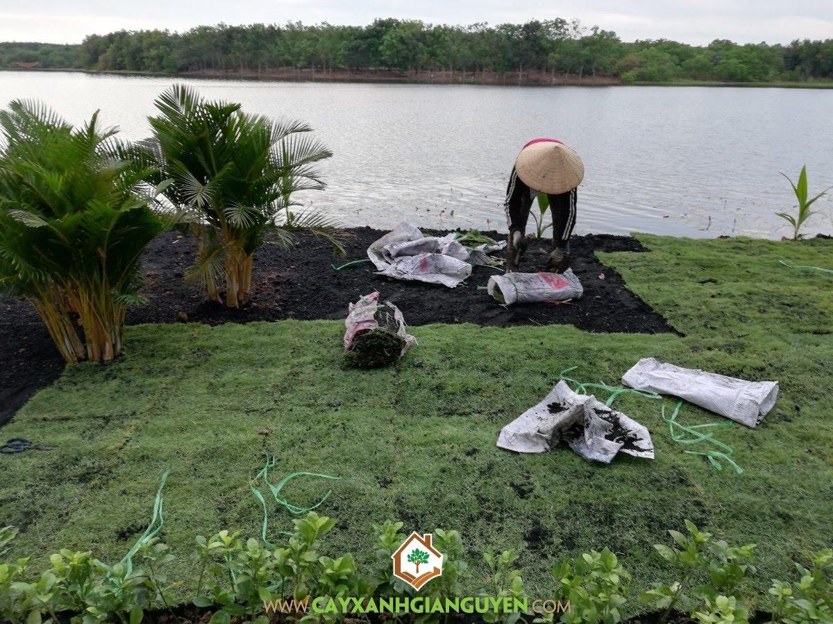 Trồng Cỏ Nhung, Cây Nguyệt Quế, Cây Cau Ăn Trầu, Cây Trúc Quân Tử, Cây Dừa Xiêm Lùn, Cau Đuôi Chồn