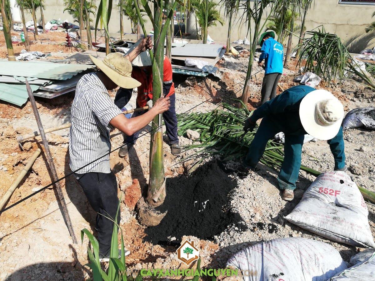Cây Cau Vua, Trồng làm trang trí ngoại cảnh, Vườn ươm Cây Xanh Gia Nguyễn, Cau Vua, Trồng Cây Cau Vua