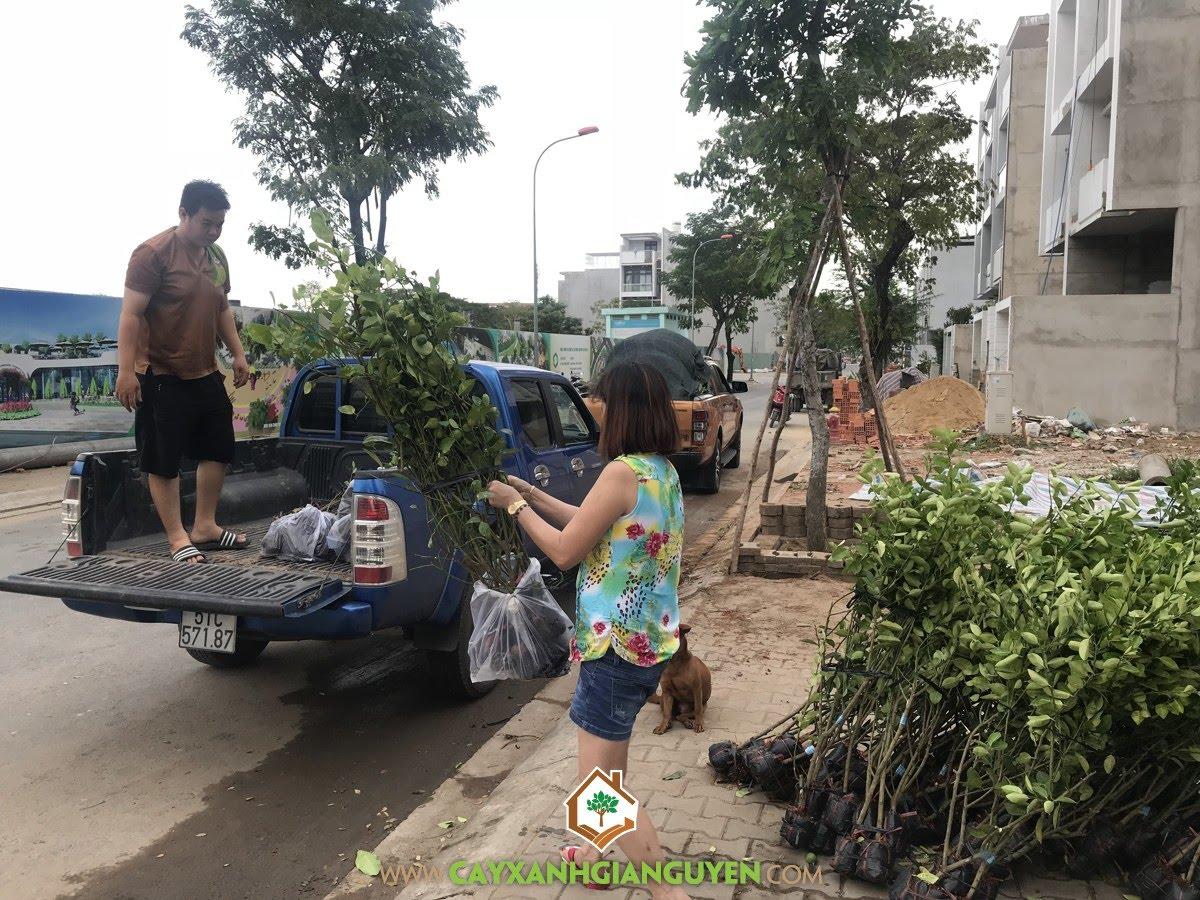 Cây Chanh Giấy, Vườn Chanh Giấy, Trồng Cây Chanh Giấy, Vườn ươm Cây Xanh Gia Nguyễn, Giống Chanh