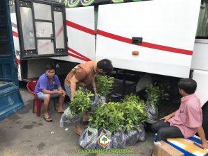 Cây xà cừ, Vườn ươm Cây Xanh Gia Nguyễn, Cây xà cừ giống, Cây giống, Gỗ xà cừ