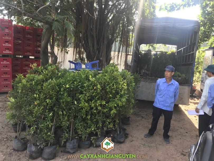 Cây Hồng Lộc, Cây Hồng Lộc Giống, Vườn ươm Cây Xanh Gia Nguyễn, Hồng Lộc, Cây Xanh Gia Nguyễn
