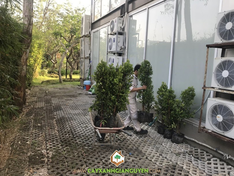 Cây Hồng Lộc, Cây Cảnh, Cây Ngoại Thất, Công ty Cây Xanh Gia Nguyễn, Cây Giống Hồng Lộc