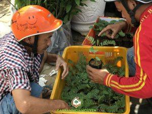 Mô hình trồng cây so đũa, Cách trồng cây so đũa, Cây so đũa, Vườn ươm Cây Xanh Gia Nguyễn, Cây so đũa bông trắng giống, Cây giống