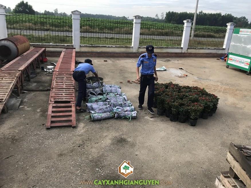 Cỏ Nhung, Cây chậu trang sen, Vườn ươm Cây Xanh Gia Nguyễn, Cỏ Nhung, Trồng cỏ nhung