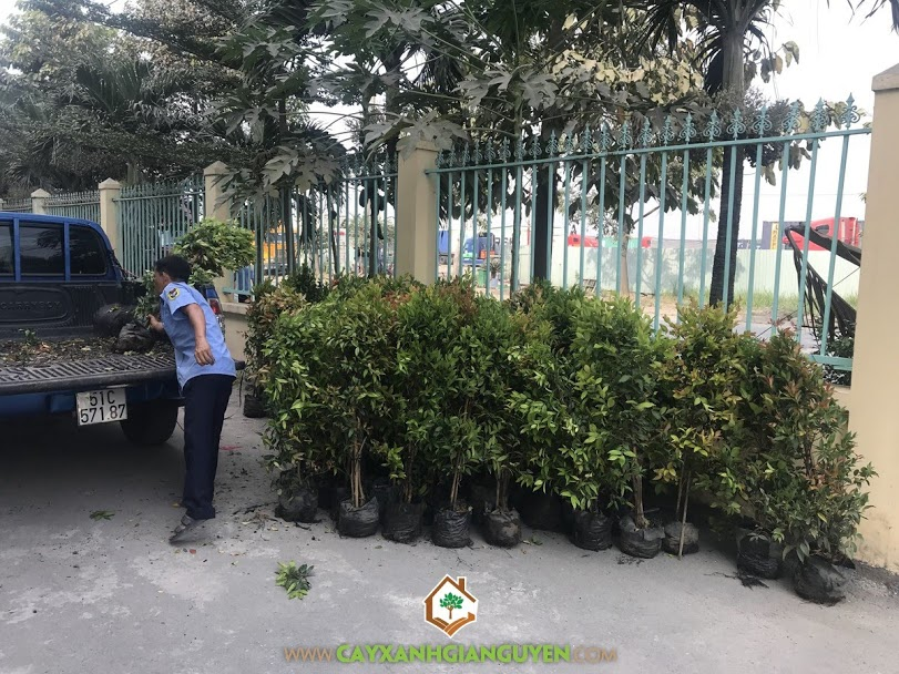 Cây hồng lộc, Vườn ươm Cây Xanh Gia Nguyễn, Cây hồng lộc giống, Cây giống hồng lộc, Gia Nguyễn
