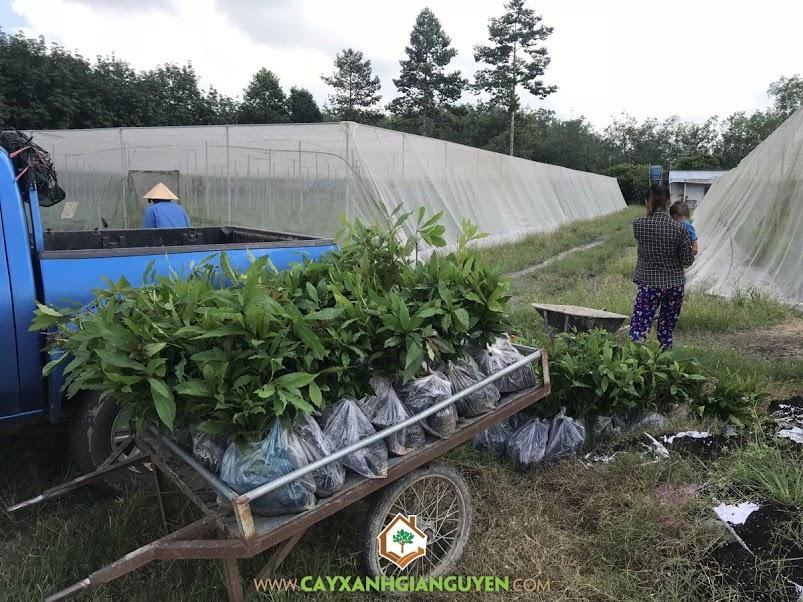 Lộc Vừng, Cây Bonsai, Vườn ươm Cây Xanh Gia Nguyễn, Cây Giống Lộc Vừng, Cây Lộc Vừng Giống