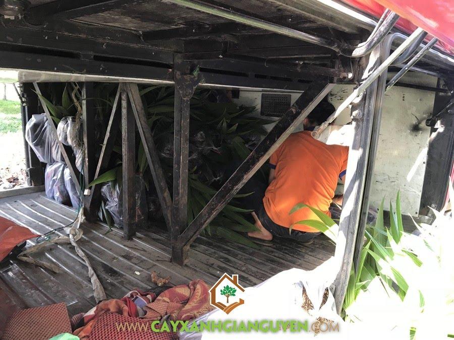 Cây Dừa Xiêm Lùn, Cây Xanh Gia Nguyễn, Cây Giống Dừa Xiêm Lùn tại Cây Xanh Gia Nguyễn, trồng Dừa Xiêm Lùn, Giống Dừa Xiêm Lùn