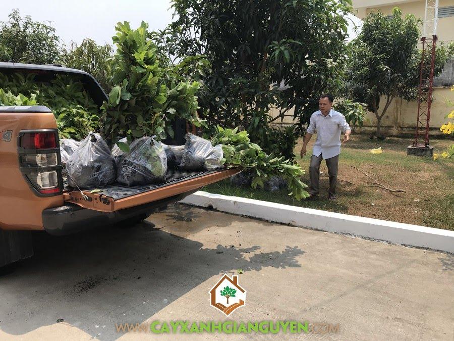 Cây Ổi Lê Đài Loan, Cây Ăn Trái, Cây Giống Ổi Lê Đài Loan của Cây Xanh Gia Nguyễn, Trồng Cây Giống Ổi lê Đài Loan, Cây Ổi Lê