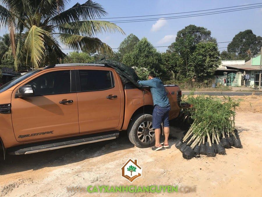 Cây Tầm Vông, Cây Tầm Vông Giống, Cây Tre Tầm Vông, Mua Cây Giống tại Cây Xanh Gia Nguyễn, trồng Tầm Vông