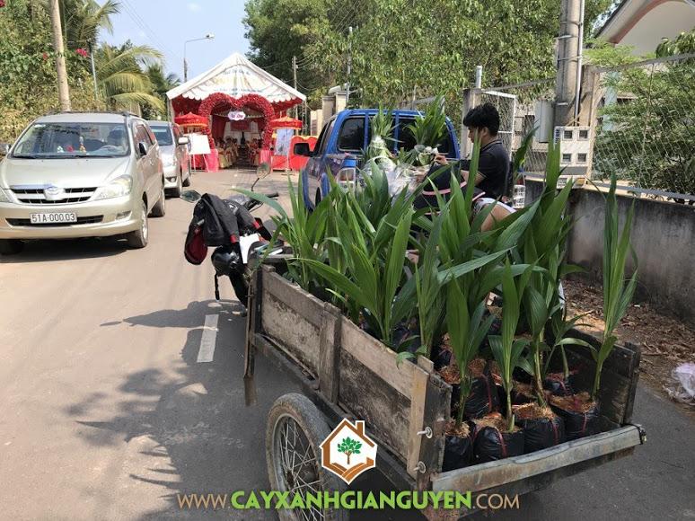 Cây Dừa Xiêm Dây, Vườn ươm Cây Xanh Gia Nguyễn, Cây Dừa Xiêm Dây Giống,  Quả Dừa Xiêm Dây, Mô hình trồng Dừa Xiêm Dây