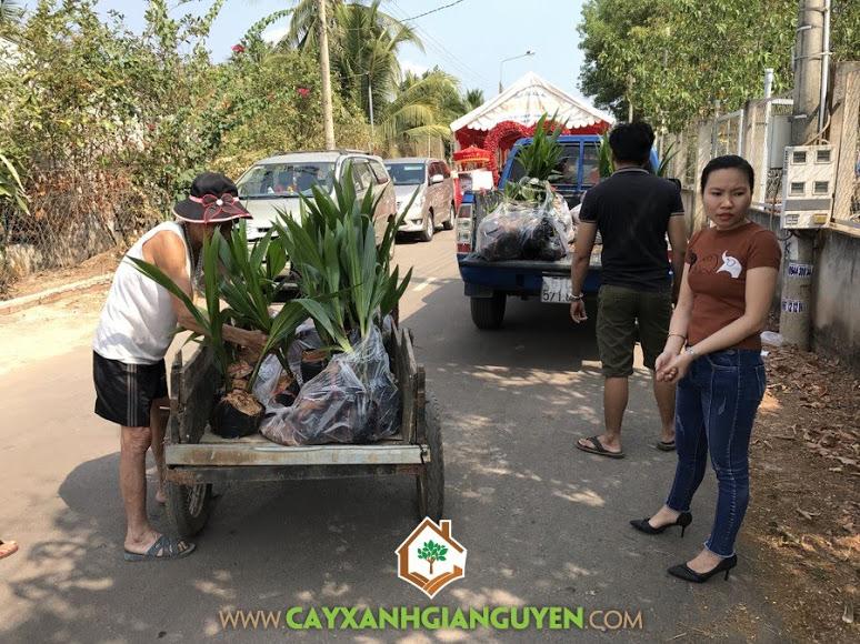 Cây dừa xiêm dây, Vườn ươm Cây Xanh Gia Nguyễn, Cây dừa xiêm dây giống, Vườn ươm tỉnh Bình Phước, giống dừa, quả dừa xiêm dây, mô hình trồng dừa xiêm dây