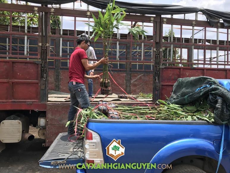 Cây tre điền trúc, Cây Xanh Gia Nguyễn, Giống tre, trồng cây tre điền trúc, trồng tre điền trúc xen canh, cây tre điền trúc tại Đồng Nai