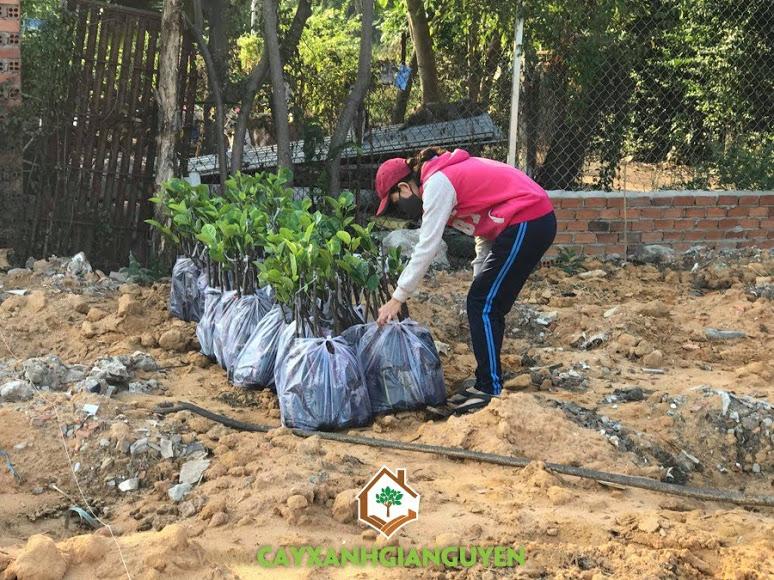 Cây Mít Thái Siêu Sớm, Cây Xanh Gia Nguyễn, Vườn ươm Bình Phước, Vườn Cây Trái, Mít Thái Siêu Sớm