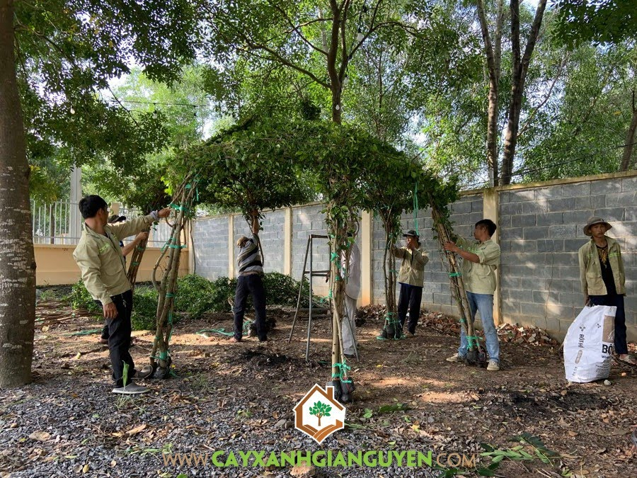 Công ty Cây Xanh Gia Nguyễn, Cây Si, Nhà Chòi cây xanh, cung cấpCây Si, Chòi Cây Si