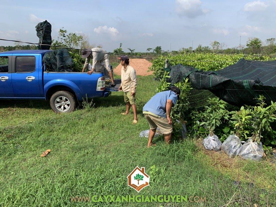 Cây Lộc Vừng, Công ty Cây Xanh Gia Nguyễn, Cây Giống, Vườn ươm tỉnh Bình Phước, Cây Giống Lộc Vừng