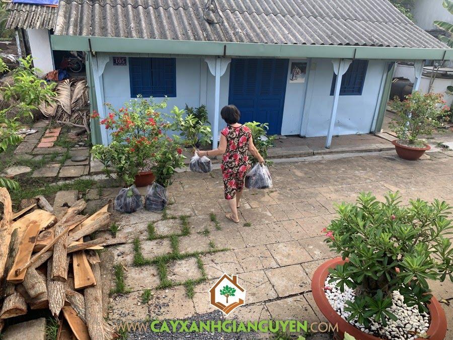 Vườn ươm Cây Xanh Gia Nguyễn, Cây Ổi Nữ Hoàng, Vườn ươm tỉnh Bình Phước, Giống Ổi Nữ Hoàng, Quả Ổi Nữ Hoàng