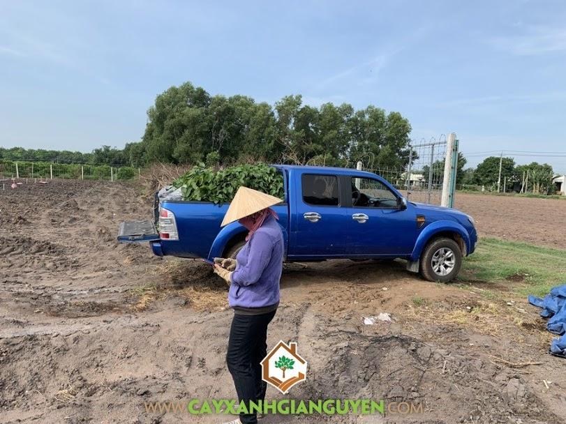 Giống Na Thái, Cây Na Thái, Cây Xanh Gia Nguyễn, Cây Na Thái Giống, Vườn Na Thái