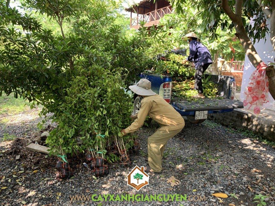 Cây Sanh, Vườn ươm Cây Xanh Gia Nguyễn, Cây giống, Cây Bóng Mát, Cây Cảnh Quan