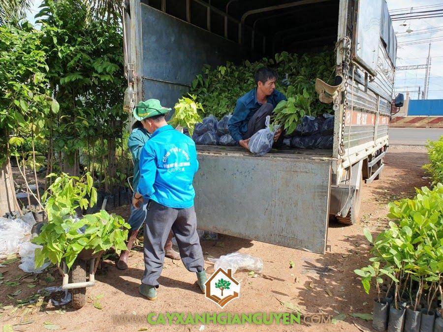 Cây Ươi, Trái Ươi, Vườn ươm Cây Xanh Gia Nguyễn, Cây Ươi Giống, Cây Lâm Nghiệp