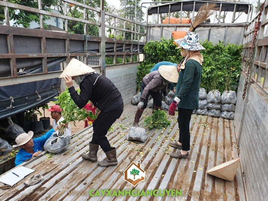 Cây Giống Lâm Nghiệp, Vườn ươm Cây Xanh Gia Nguyễn, Cây Gáo Vàng, Cây Dó Bầu, Cây Sưa Đỏ, Cây gỗ lâu năm