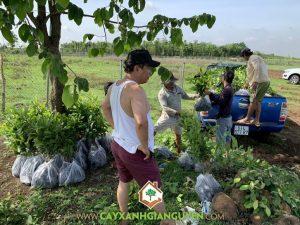 Cây lộc vừng, Công ty Cây Xanh Gia Nguyễn, Cây giống, Vườn ươm tỉnh Bình Phước, Trồng cây cảnh, Cây giống lộc vừng