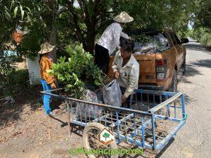 Cây bưởi da xanh, Trái bưởi da xanh, Vườn ươm Cây Xanh Gia Nguyễn, Vườn ươm cây giống, Bưởi da xanh