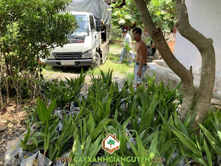 Cây Dừa Dứa, Vườn ươm Cây Xanh Gia Nguyễn, Cây Dừa Dứa Giống, Vườn ươm tỉnh Bình Phước, Trái Dừa Dứa, Trồng Dừa Dứa