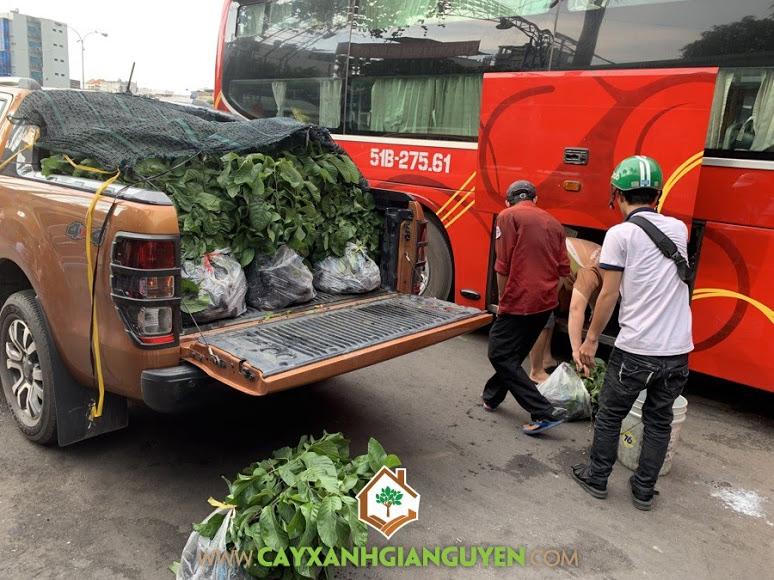 Cây Na Thái Lan, Giống Na, Báo giá Cây Giống Na Thái Lan, Na Thái Lan, Cây Na Thái