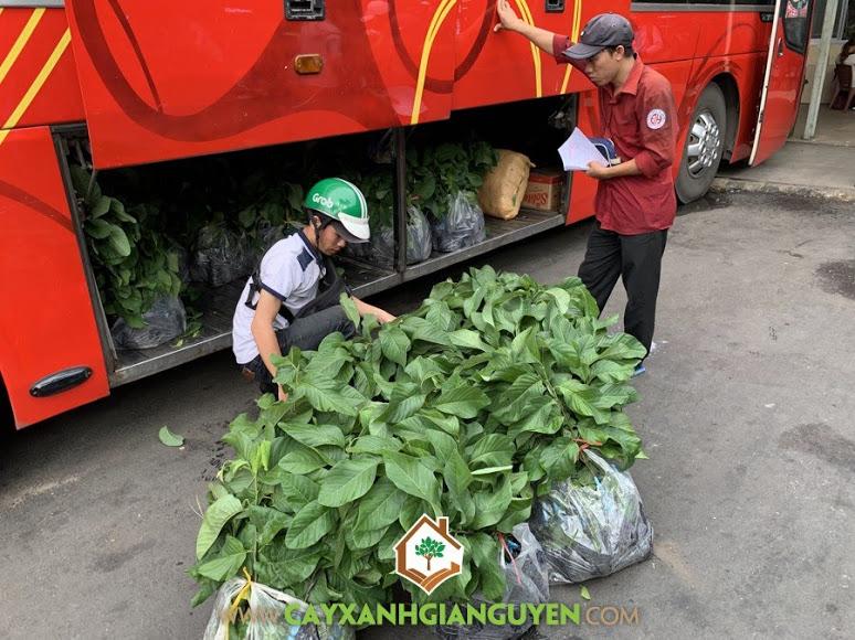 Cây na Thái Lan, Giống na, Báo giá cây giống na Thái Lan, Công ty Cây Xanh Gia Nguyễn, Giống na Thái Lan, Kỹ thuật trồng và chăm sóc cây na Thái Lan, Na Thái Lan
