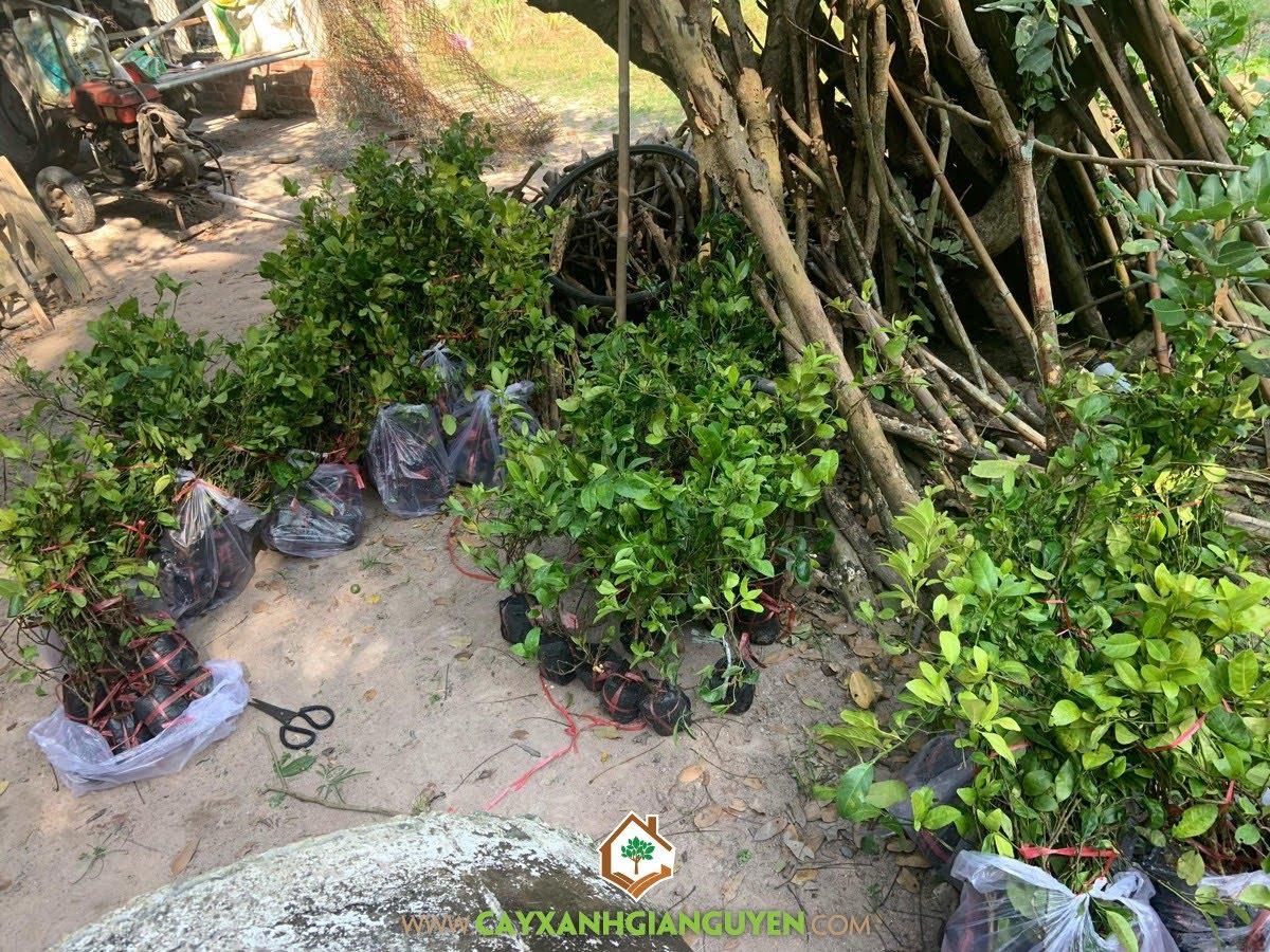 Cây Chanh Bông Tím, Chanh Bông Tím, Trồng Chanh Bông Tím, Vườn ươm Cây Xanh Gia Nguyễn, Giống Chanh Bông Tím