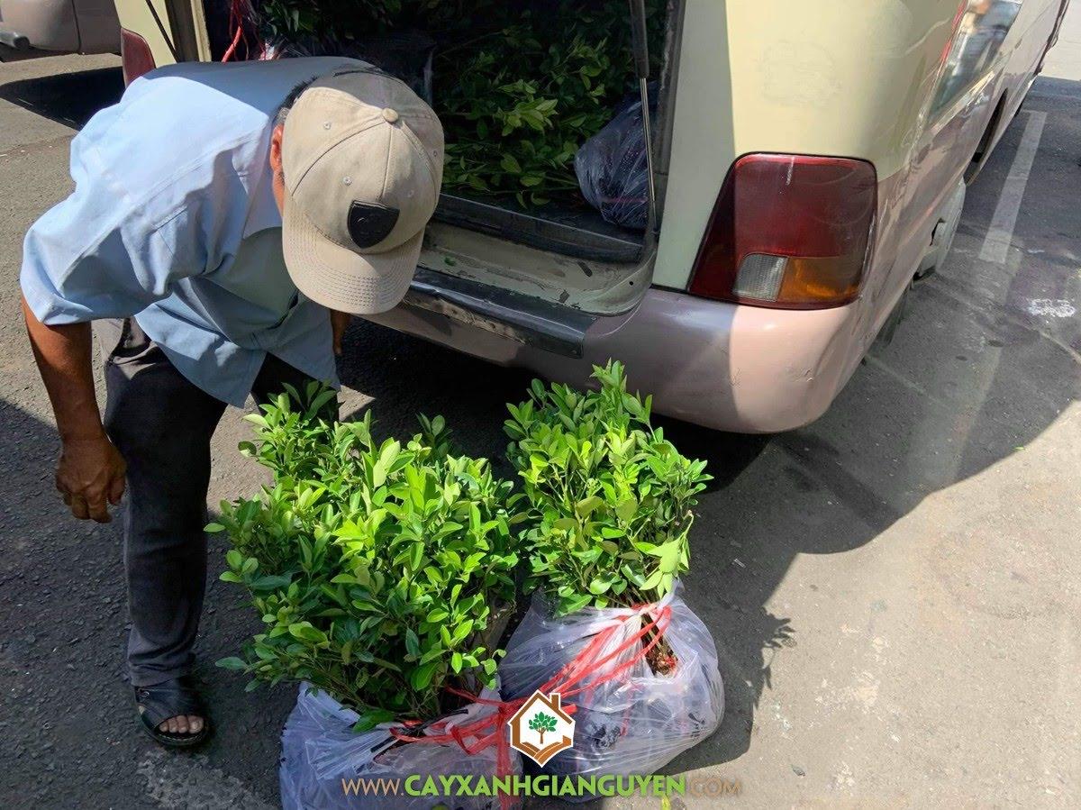 Cây Tắc, Vườn ươm Cây Xanh Gia Nguyễn, Cây Ăn Trái, Trồng Cây Tắc Giống, Cây Quất