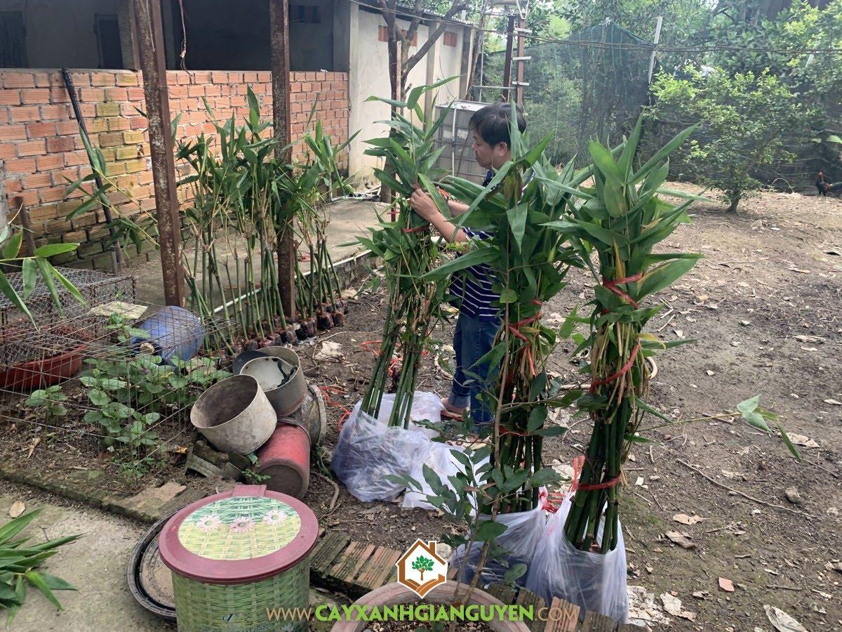 Cây Tre Điền Trúc Giống, Cây Tre Điền Trúc, Vườn ươm cây giống, Vườn ươm Cây Xanh Gia Nguyễn, Tre Điền Trúc