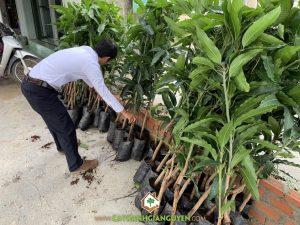 Cây xoài cát hòa lộc, Giống cây ăn trái, Giống xoài cát hòa lộc, Vườn ươm Cây Xanh Gia Nguyễn, Cây xoài cát hòa lộc giống, Vườn ươm Gia Nguyễn