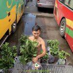 Cung cấp 120 cây ổi giống các loại cho chị Mai ở Gia Lai