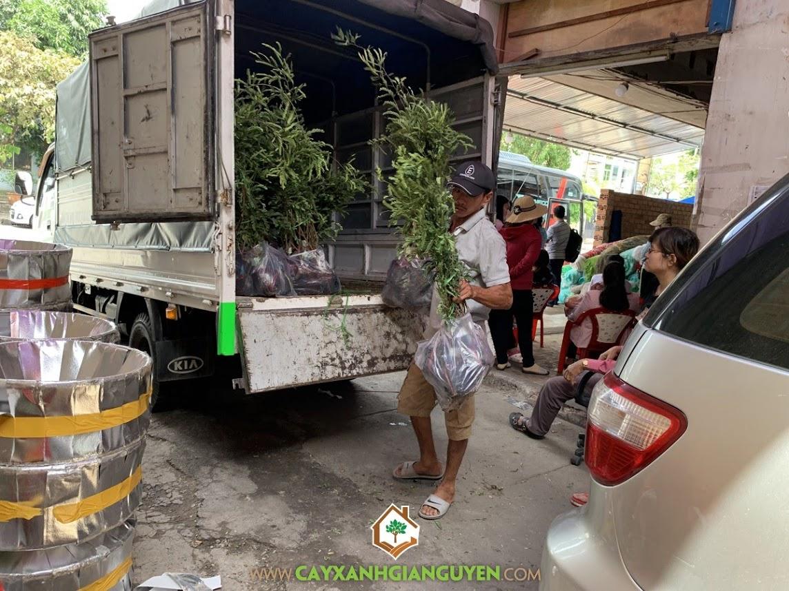 Vườn ươm Cây Xanh Gia Nguyễn, Cây Me Thái, Me Ngọt Thái Lan, Giống Me, Cây Me Thái Giống
